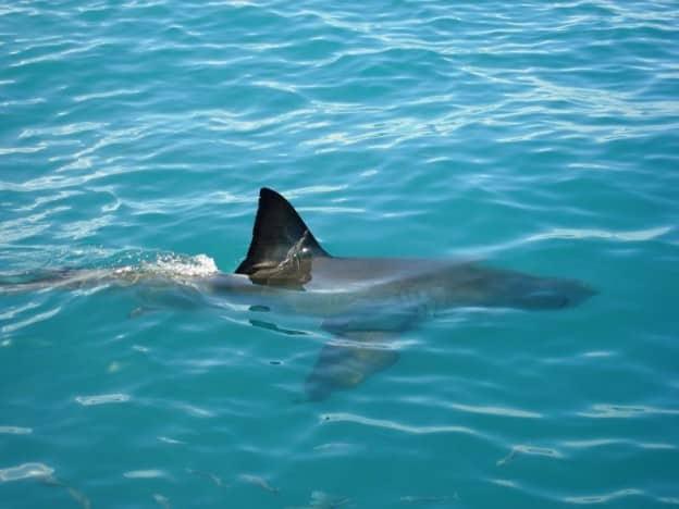 Charlie the flood shark